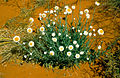 CSIRO ScienceImage 4629 Poached egg daisies.jpg