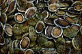 CSIRO ScienceImage 7453 Cultured abalone.jpg