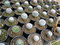 Cadereyta Botanical garden (5761452108).jpg