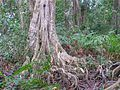 Cahuita tree 2.jpg