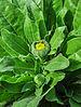 Calendula officinalis flowerbud 22122014 (3).jpg
