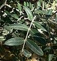 Calia arizonica 3.jpg