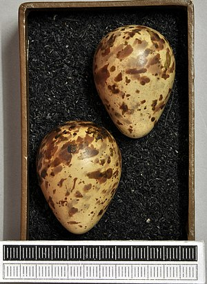 Purple sandpiper - Eggs, Collection Museum Wiesbaden, Germany