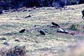 California condors feeding on deer carcass, 1972 (26251729644).jpg