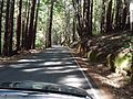 California redwood trees view from car.JPG