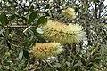 Callistemon pallidus kz02.jpg