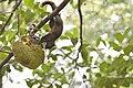 Callosciurus erythraeus thaiwanensis (34310712214).jpg