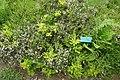 Calluna vulgaris-Jardins de Callunes.jpg