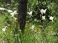 Calochortus eurycarpus (14891601200).jpg