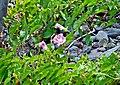 Calystegia seipum 2 (14812293358).jpg