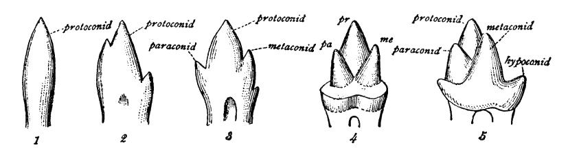 Cambridge Natural History Mammalia Fig 039
