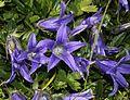 Campanula chamissonis (flower s2).JPG