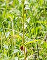 Campanula rhomboidalis in Chablais (2).jpg