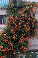 Campsis grandiflora 09 7 3.JPG