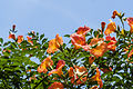 Campsis grandiflora 2.jpg