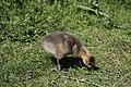 Canada goose - Branta canadensis (41263950154).jpg