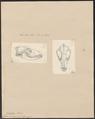Canis aureus - 1700-1880 - Print - Iconographia Zoologica - Special Collections University of Amsterdam - UBA01 IZ22200021.tif