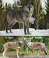 Canis lupus, Canis rufus & Canis latrans.jpg