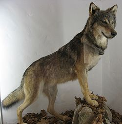 Canis lupus by Line1.jpg
