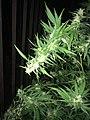 Cannabis tree.3.jpg