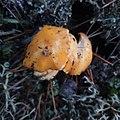 Cantharellus cibarius 96796625.jpg