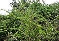 Canthium coromandelicum in Keesaraguda, AP W IMG 9101.jpg
