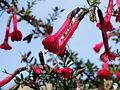 Cantua buxifolia-IMG 7046.JPG