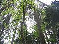 CapilanoRiverRegPark-trees.jpg
