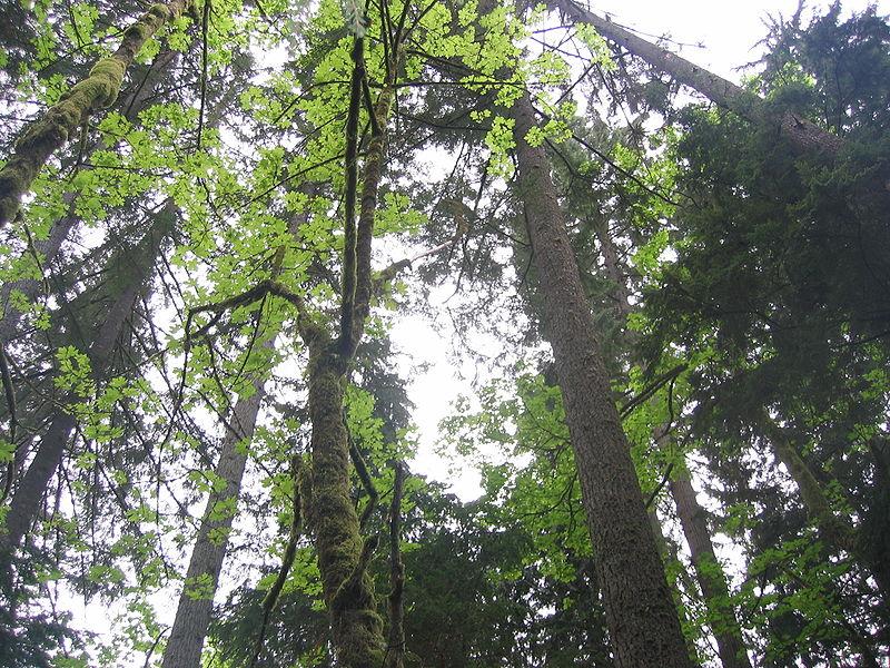 File:CapilanoRiverRegPark-trees.jpg