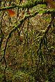 Carballo nas ribeiras do Toxa 29XI2009.jpg