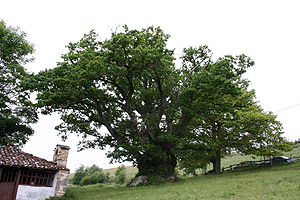 Tineo - This oak has been declared a natural monument