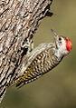 Cardinal Woodpecker - MALE, Dendropicos fuscescens at Pilanesberg National Park, Northwest Province, South Africa (15091959375).jpg