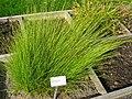 Carex nigra - Oslo botanical garden - IMG 8903.jpg
