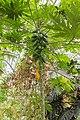 Carica papaya (Papayer) - 105.jpg