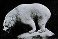 Carnegie museum inland white bear.jpg