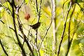 Carolina wren (21731884540).jpg
