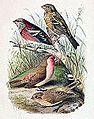 Carpodacus trifasciatus & Carpodacus stoliczkae 1891.jpg
