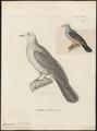 Carpophaga rosacea - 1700-1880 - Print - Iconographia Zoologica - Special Collections University of Amsterdam - UBA01 IZ15600115.tif