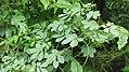 Cassia tora-3-kottachedu-yercaud-salem-India.JPG