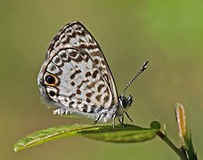 Cassius blue (Leptotes cassius theonus) underside.JPG
