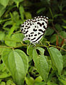 Castalius rosimon - Common Pierrot on the hostplant Ziziphus oenoplia - Jackal Jujube 36.JPG