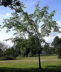 Chestnut-leafed Elm aged 15 years