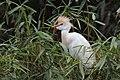 Cattle Egret (Bubulcus ibis) (5771892531).jpg