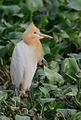 Cattle Egret Breeding Plumage (9002489890).jpg