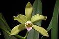 Cattleya xanthina (Espírito Santo, Brasil) (Lindl.) Van den Berg, Neodiversity 3- 12 (2008) (35537908780).jpg