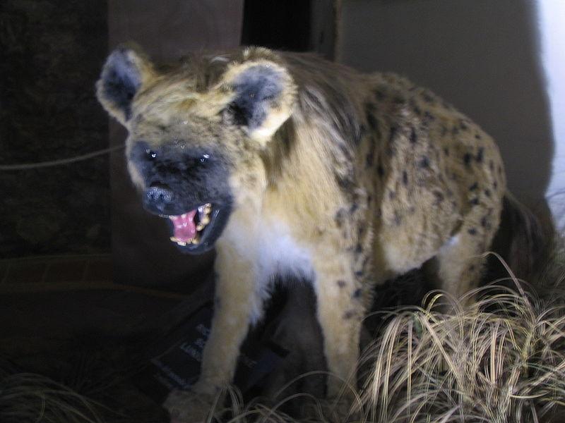 Реконструкция внешнего вида Пещерной гиены