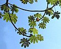 Cecropia peltata-leaves.jpg