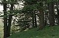 Cedars07(js).jpg
