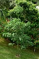 Ceiba (Ceiba pentandra) (14366827378).jpg