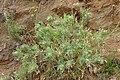 Centaurea benedicta kz04.jpg